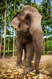 Spelrum för elefantfamiljgruppen och äter tillsammans Royaltyfri Bild
