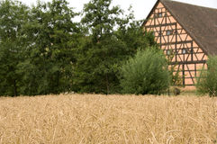 Spelt. An old wheat variety in front of an old half-timbered house stock image