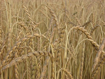 Spelt. Field of ripe spelt, a seldom cultivated cereal Royalty Free Stock Images