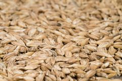 Spelt. Closeup of spelt seeds, food background, isometric view Stock Photography