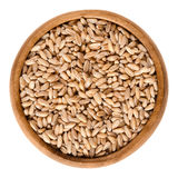 Spelt without husks in wooden bowl over white. Spelt without husks in wooden bowl. Triticum spelta, also dinkel or hulled wheat, a staple and rediscovered relict Stock Photography