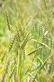 Spelt plants (Triticum spelta) Stock Images