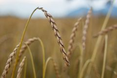 Spelt. (Triticum a), also known as dinkel wheat or hulled wheat is a species of wheat cultivated since 5000 BCE Stock Image