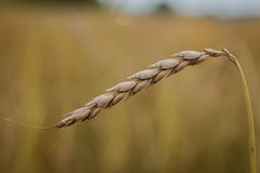 Spelt. (Triticum a), also known as dinkel wheat or hulled wheat is a species of wheat cultivated since 5000 BCE Royalty Free Stock Photo