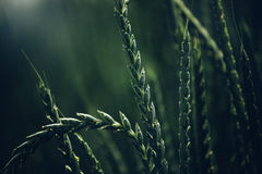 Spelt wheat crops Stock Images