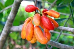 Spenar för carabaoen för Uvaria rufaBlume frukt, skogfrukt, buffel mjölkar röda frukter i skogen, Herb Rare Endangered Species i  arkivbild