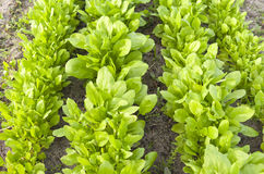 Spenat i den organiska grönsakträdgården. arkivfoton