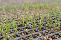 Spenatplantaväxt Fotografering för Bildbyråer