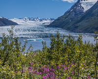 Spencer Glacier Lake. Flowers by the lake, with floating icebergs in the distance, in front of Spencer Glacier in Alaska Royalty Free Stock Photo