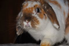 Spencer: white rabbit with brown royalty free stock photos