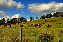 Spencertown, NY:   Grazing Cows Stock Photo