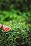 Spennatura a mano della foglia di tè sulla montagna del angkhang di doi in Tailandia Fotografie Stock Libere da Diritti