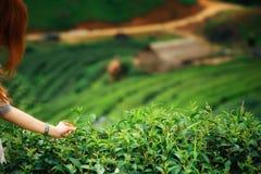 Spennatura a mano della foglia di tè sulla montagna del angkhang di doi in Tailandia Immagine Stock Libera da Diritti