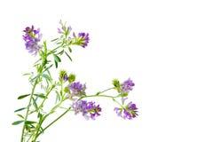 Spenslig Bush växt av släkten Trifolium Arkivfoton