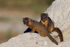 Spenslig mungor - Botswana Royaltyfri Foto