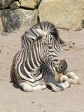 Spenslig randig svartvit sebra som går i zoo i Erfurt Royaltyfri Bild