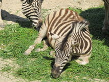 Spenslig randig svartvit sebra som går i zoo i Erfurt Royaltyfria Bilder