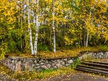 Spensliga björkträd i höst parkerar royaltyfri foto