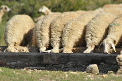 Spent with his flock of sheep grazing. Quenching thirst, watering hole. Stock Image