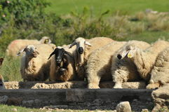 Spent with his flock of sheep grazing. Quenching thirst at the watering hole Royalty Free Stock Photos