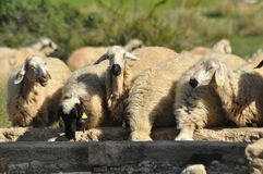 Spent with his flock of sheep grazing. Quenching thirst at the watering hole Stock Photos