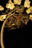 Spent hydrangea Stock Image