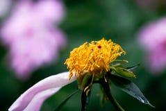 Spent Peony Stamen. A closeup shot of the bright, orange stamen of a spent peony flower stock photo