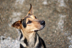 Speranza del `s del cane Fotografia Stock Libera da Diritti