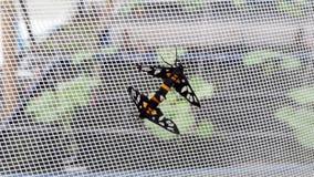 Sperbius Amata, Arctiidae Στοκ φωτογραφίες με δικαίωμα ελεύθερης χρήσης