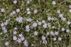 Spergularia rubra. Spergularia field, small field flower, common plant, weed stock image