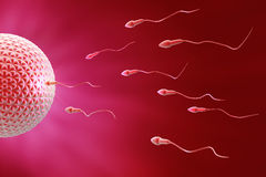 Sperm And Egg Fecundation Stock Images