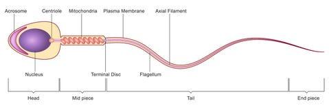 Sperm cell anatomy vector illustration