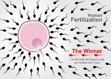Sperm cells race to fertilize with ovum Royalty Free Stock Image