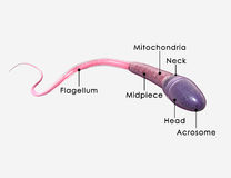 Sperm and its parts. The term sperm refers to the male reproductive cells and is derived from the Greek word sperma, meaning seed. In the types of sexual Royalty Free Stock Photography