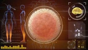 Sperm, spermatozoon fertilizes the cell egg. Medical concept anatomical future. HUD futuristic background. Sperm, spermatozoon fertilizes the cell egg. Medical stock video