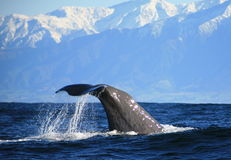 Sperm Whale. Preparing to dive off the coast of New Zealand Royalty Free Stock Photo