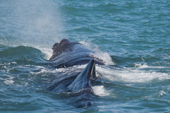 Sperm Whale. Shot in Kaikoura, South Island, New Zealand stock photography