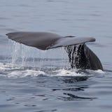 Sperm Whale. Shot in Kaikoura, South Island, New Zealand royalty free stock photo