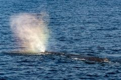 Sperm whale in the blue mediterranean sea blowing like rainbow royalty free stock photos