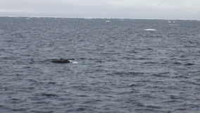 Sperm whale cachalot in ocean of Arctic. Travel in calm and silence of cold polar north. Scenic blue water. Global warming. Desert unique nature. Wilderness stock video
