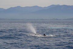 Sperm Whale coming up for air, Kaikoura, New Zealand Stock Image