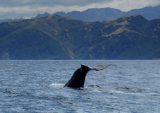 Sperm whale diving. A diving sperm whale off the coast of New Zealand Stock Photo