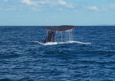 A Sperm whale diving off the coast of New Zealand. A diving sperm whale`s tail Royalty Free Stock Photography