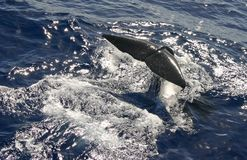 Sperm Whale Fluke. Tail, or fluke, of a sperm whale preparing to dive, off the coast of Dominica royalty free stock images