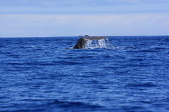Sperm Whale fluke. Sperm Whale diving showing it's tail in pico island azores stock photo