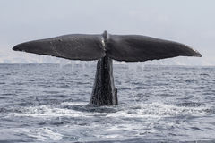 Sperm whale his tail above the water when the water Stock Images