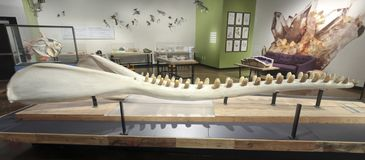 A Sperm Whale Jaw Exhibit at The Nat, San Diego, CA, USA. SAN DIEGO, CALIFORNIA, MARCH 20. The Nat on March 20, 2019, in San Diego, California. A Sperm Whale Jaw stock photography