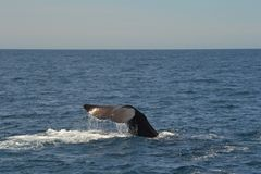 Sperm Whale in Kaikoura New Zealand Stock Photos