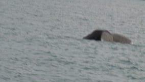 Sperm whale in kiakoura, Southern Island, New-Zealand stock video