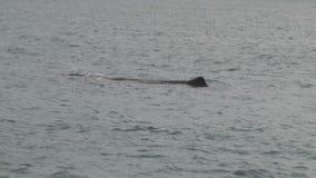 Sperm whale in kiakoura, Southern Island, New-Zealand stock video footage